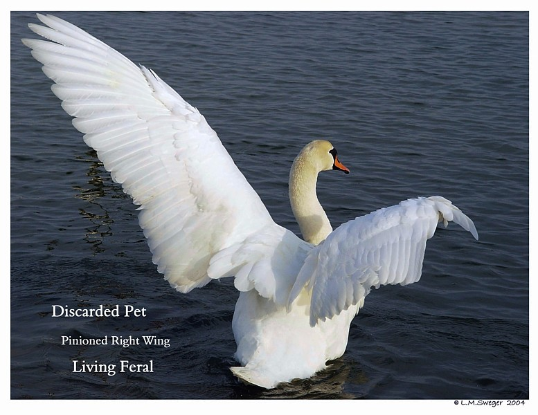 Discarded Pet Mute Swan