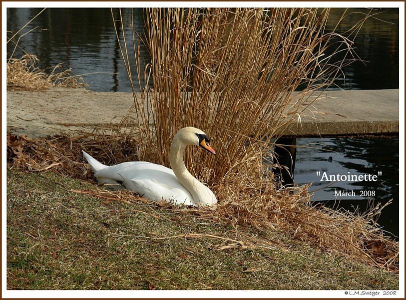 Female Mute Swan Nesting Antoinette