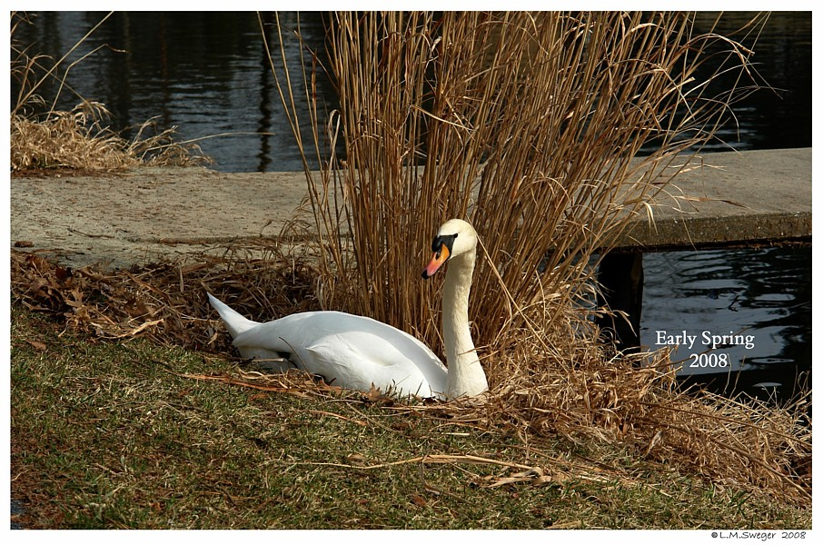 Lone Nesting Mute Swan