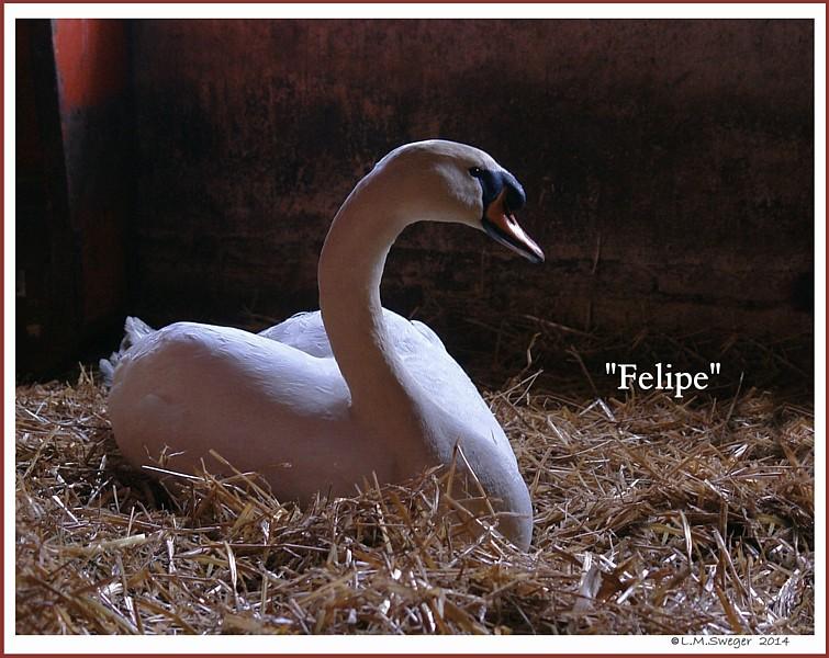 Mute Swan Felipe