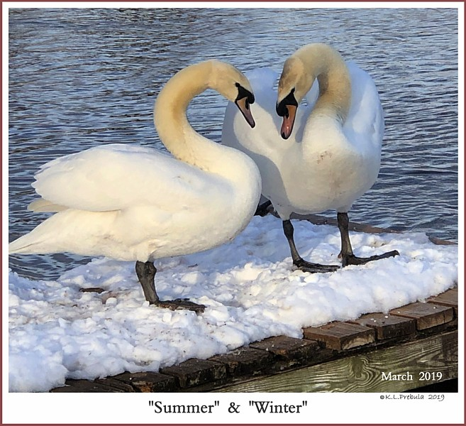 Mute Swan Juvenile Pair