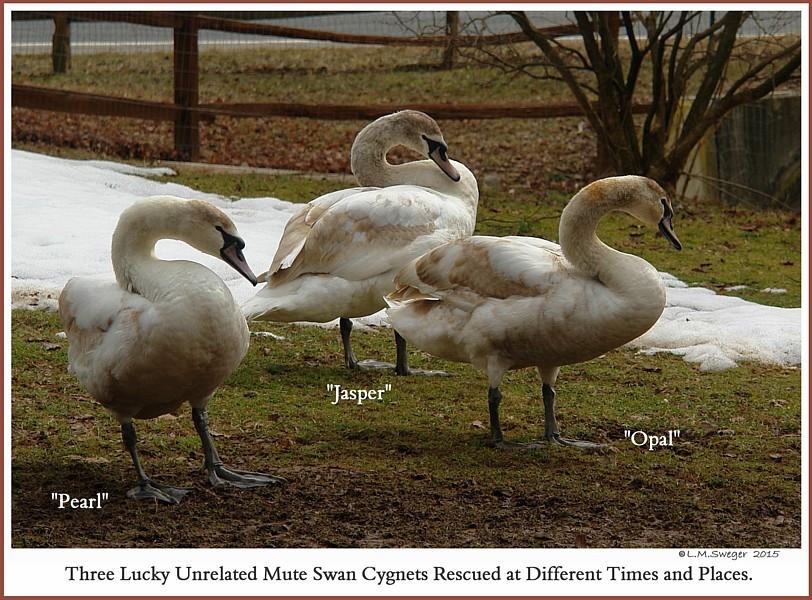 Rescued Mute Swan Cygnets  Pearl  Jasper  Opal