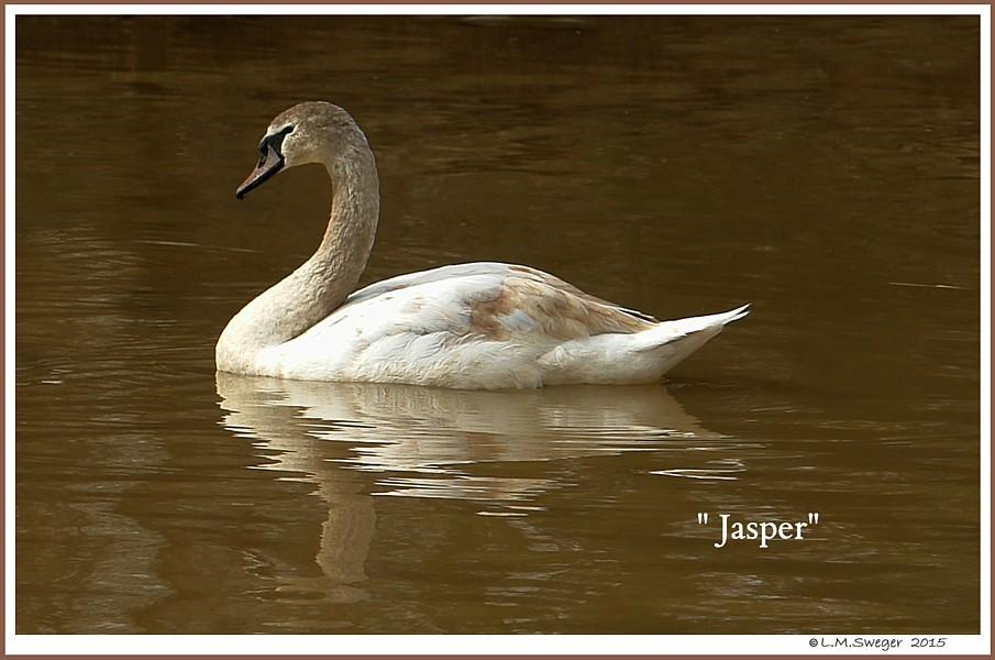 Mute Swan Cygnet Jasper
