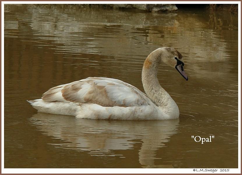 Female Mute Swan Cygnet Opal