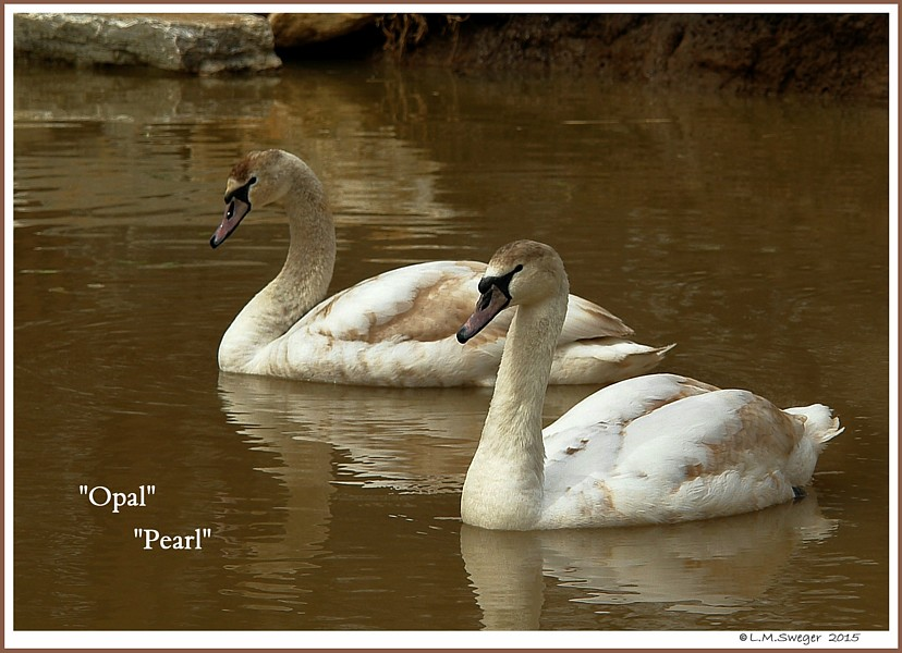 Female Mute Cygnets