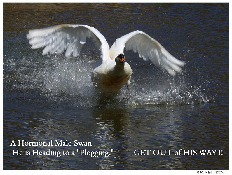 Aggressive Male Mute Swan