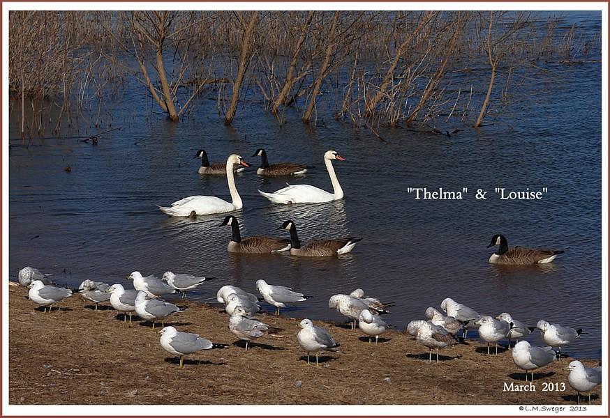 Female Polish Mute Swans   Thelma  Louise