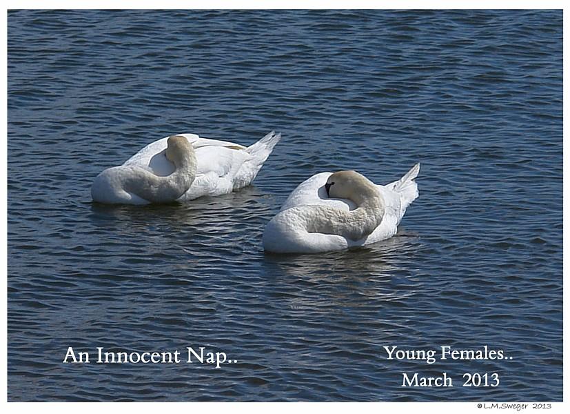Mute Swan Females