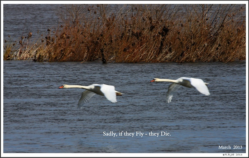 Female Polish Mute Swans