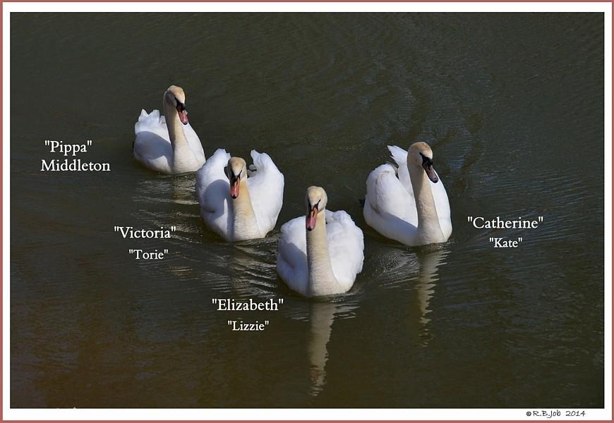 Four Female Cygnets