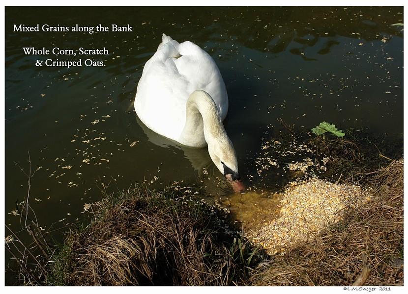 Swan Feed