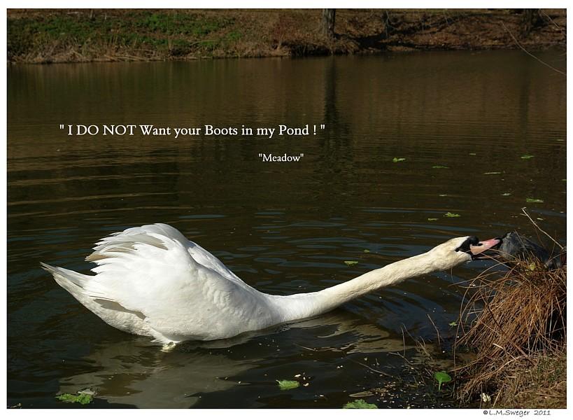 Spring Aggressive Swan