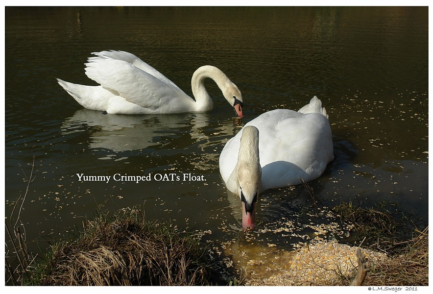 Crimped Oats Float Captive Mute Swans Feeding Swans