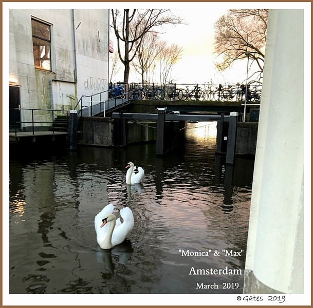 Wild Netherlands Mute Swans