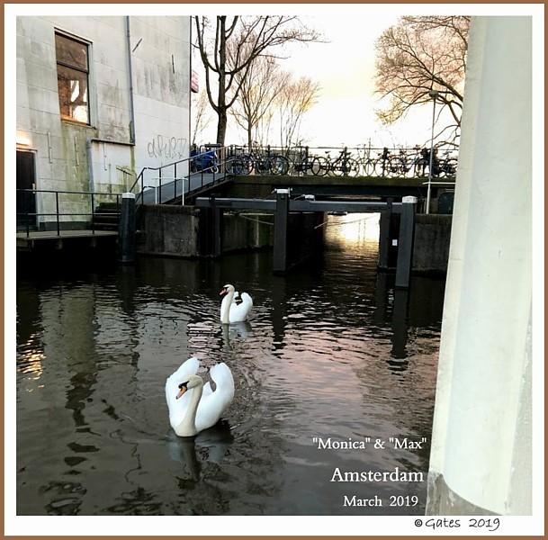 Wild Netherlands Mute Swans  Monica  Max