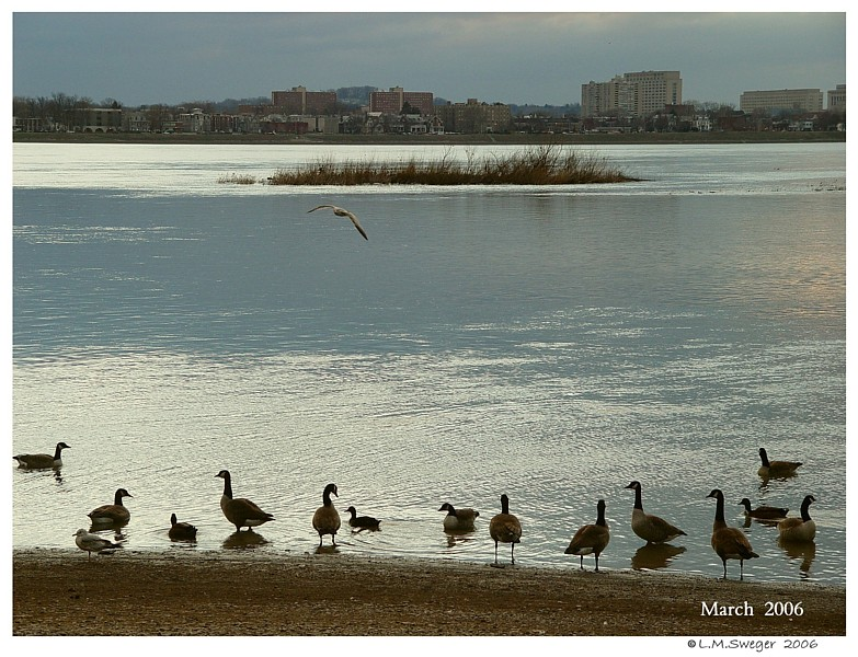 Resident Canadian Geese