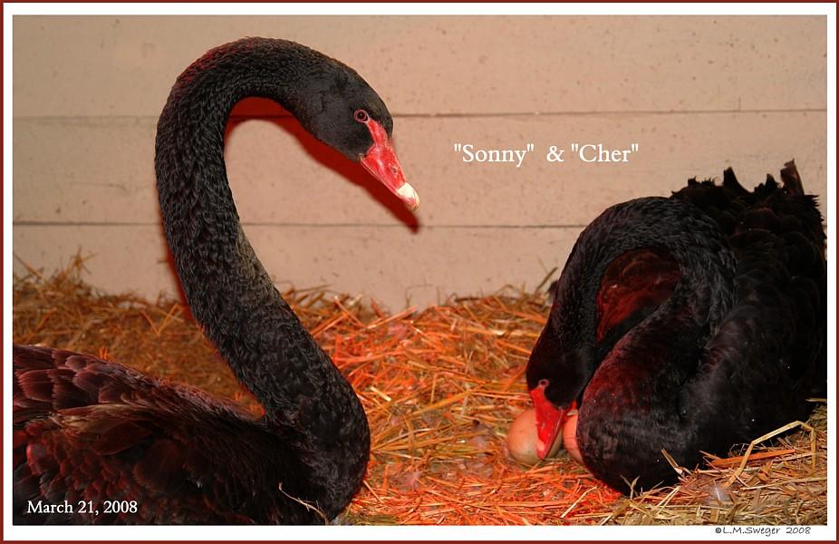 Black Australian Swans  Sonny and Cher