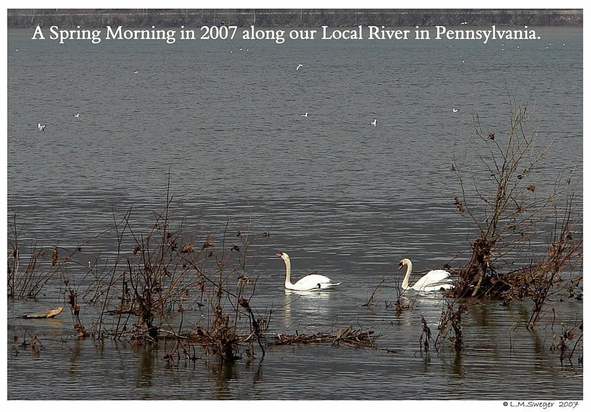 Pennsylvania Mute Swans
