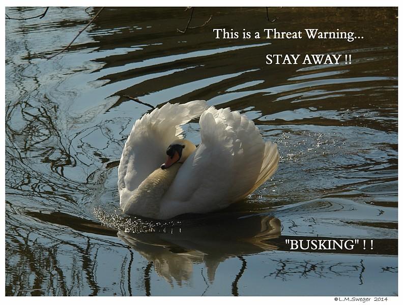Busking Male Swan
