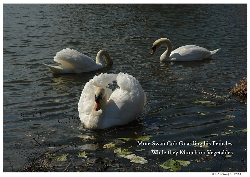 Protective Male Swan