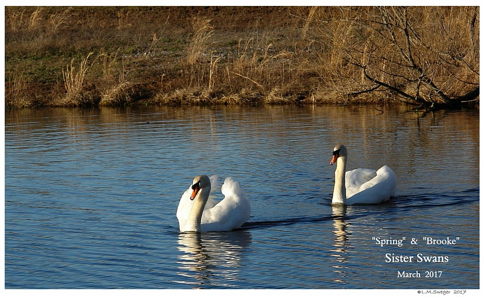 Female Mute Swans Swans DNA-Sex Testing