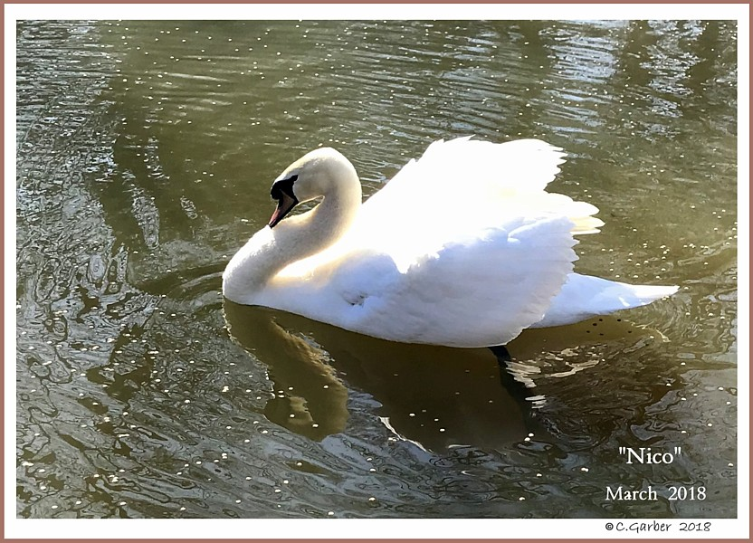 Male Mute Swan Nico