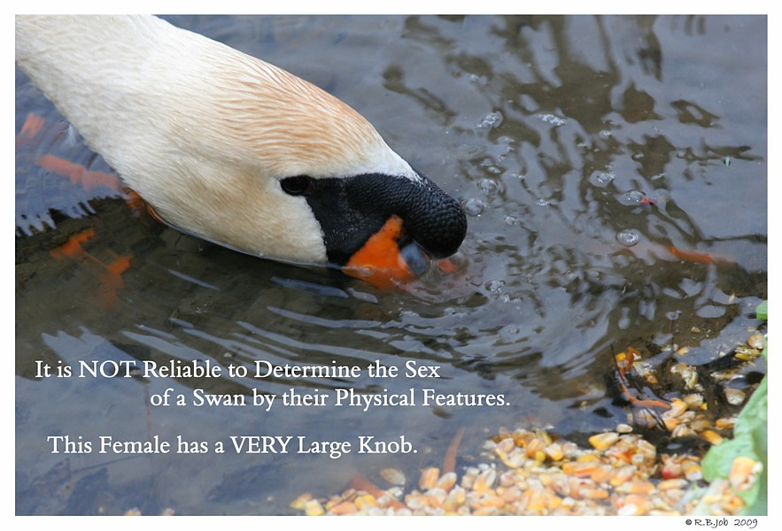 Female Mute Swan Large Knob