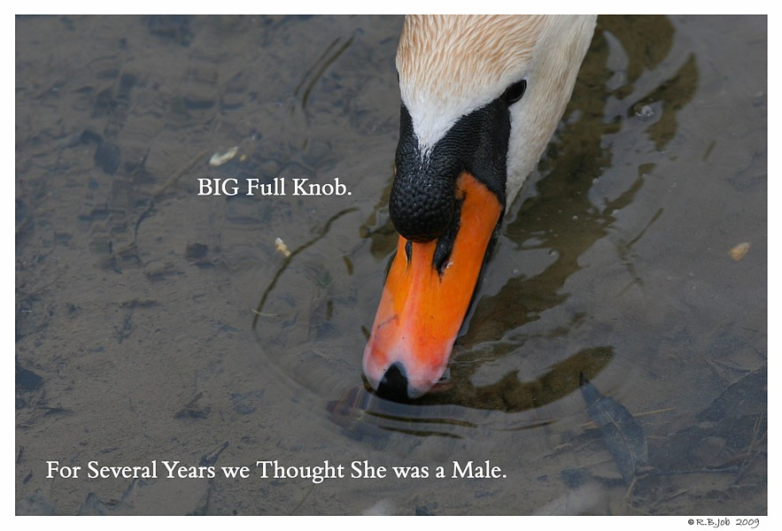 Female Mute Swan Knob