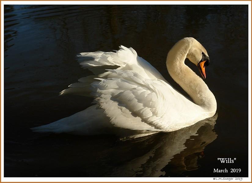 Mute Swan Cob Wills