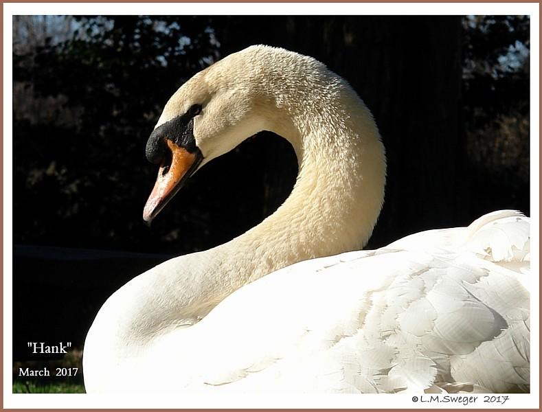 Mature Mute Swan Cob Hank Williams