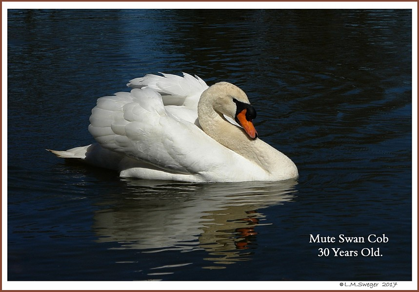 Healthy Male Mute Swan Captive Mute Swans Feeding Swans