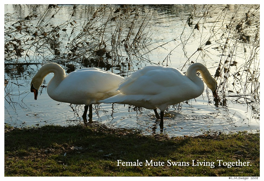 Feral Mute Swans