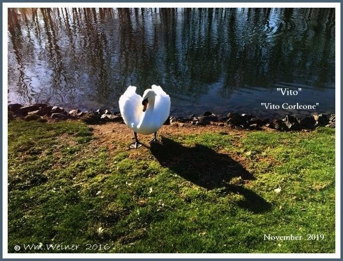 Male Mute Swan Vito