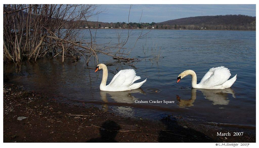 Mute Swan Treats Graham Crackers Captive Mute Swans Feeding Swans