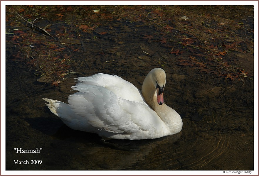 Feed Swan