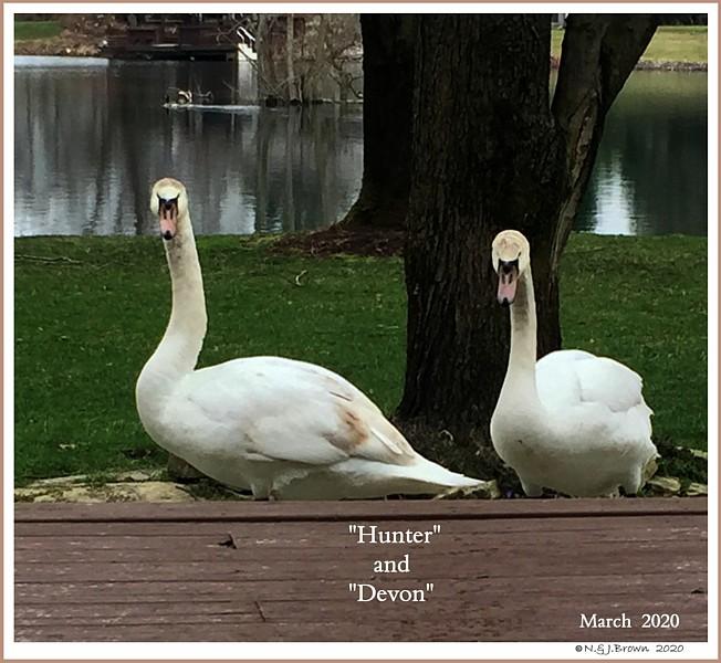 Mute Swan NestMates  Hunter  Devon