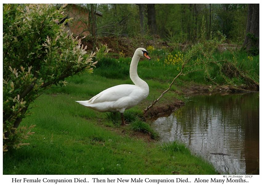 Lone Female Mute Swan
