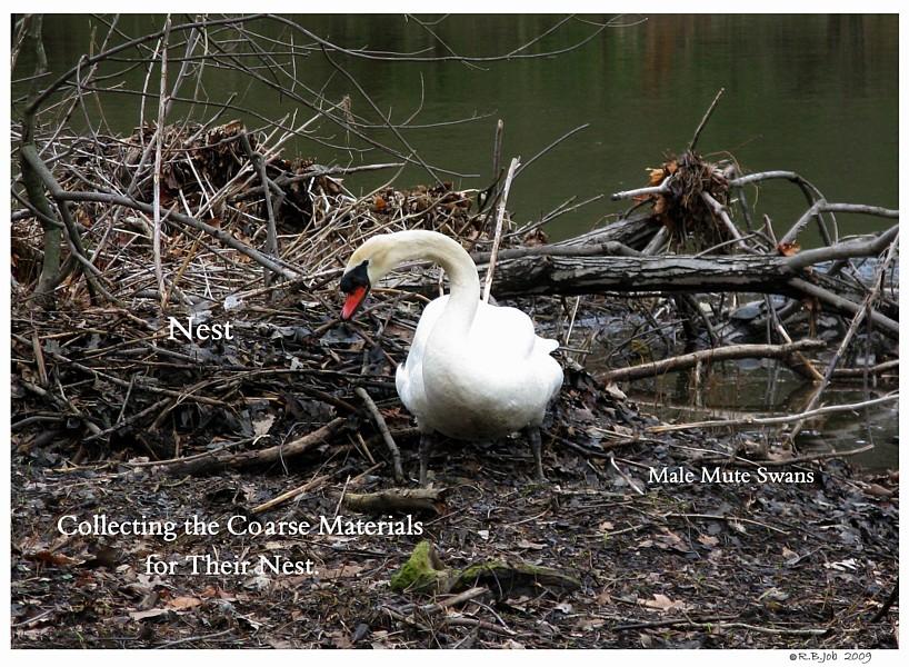 Mute Swan Nesting Behavior