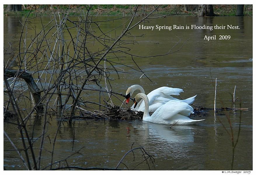 Mute Swan Nest Captive Mute Swans Feeding Swans