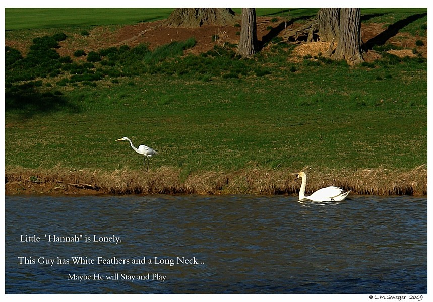 Young Swan All Alone