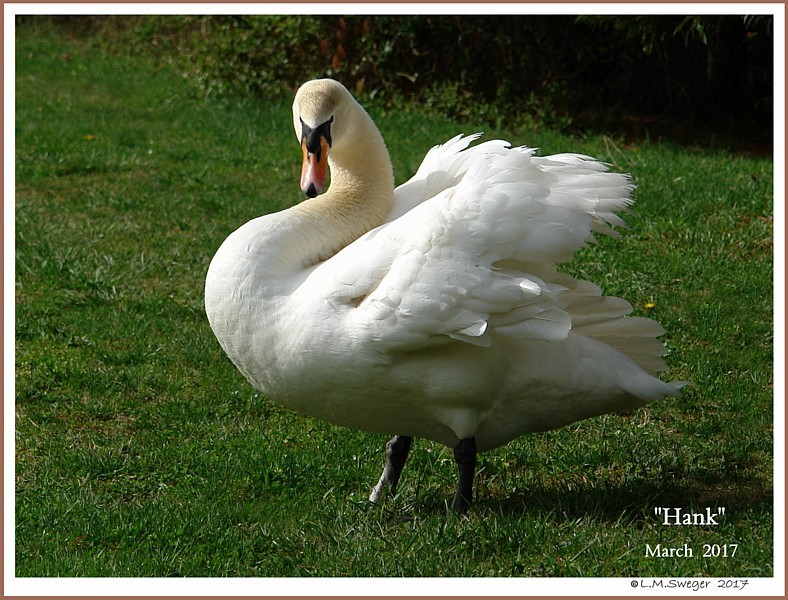 Mature Mute Swan Cob Hank