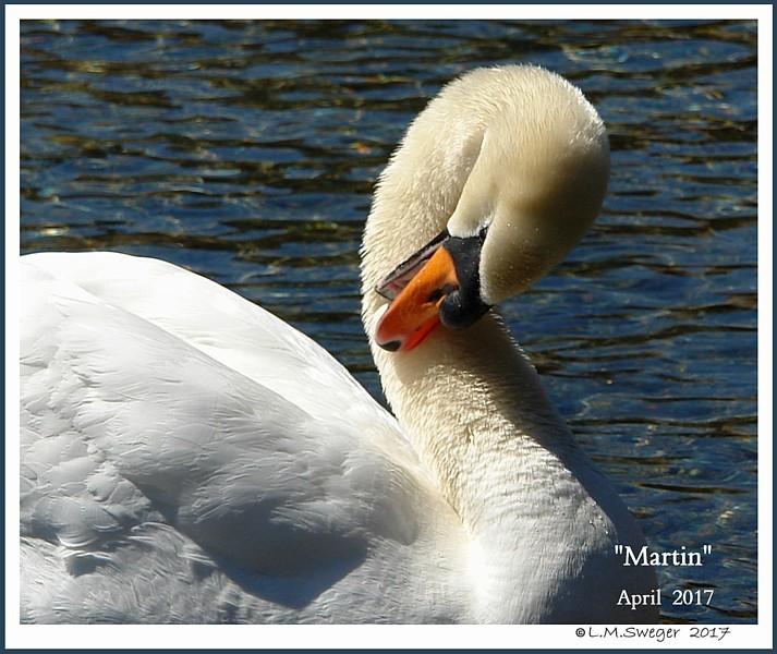 Mature Mute Swan Cob Martin