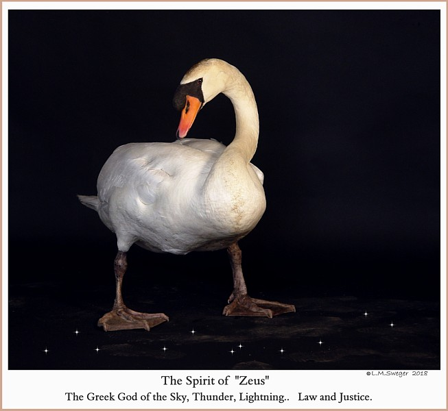 Male Mute Swan Zeus