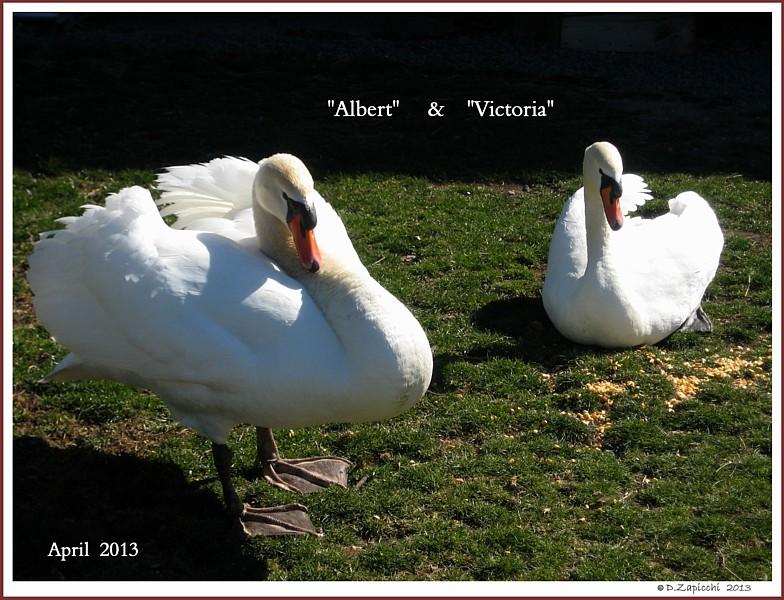 Albert & Victoria Mute Swan Pair