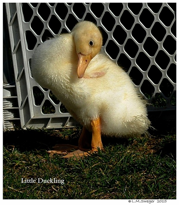 Duckling Swans DNA-Sex Testing