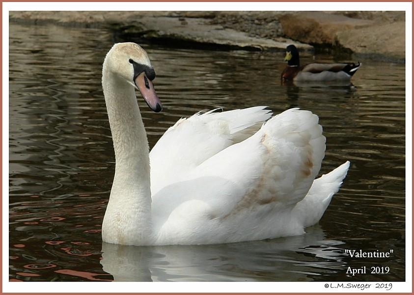 Rescued Male Mute Swan Valentine