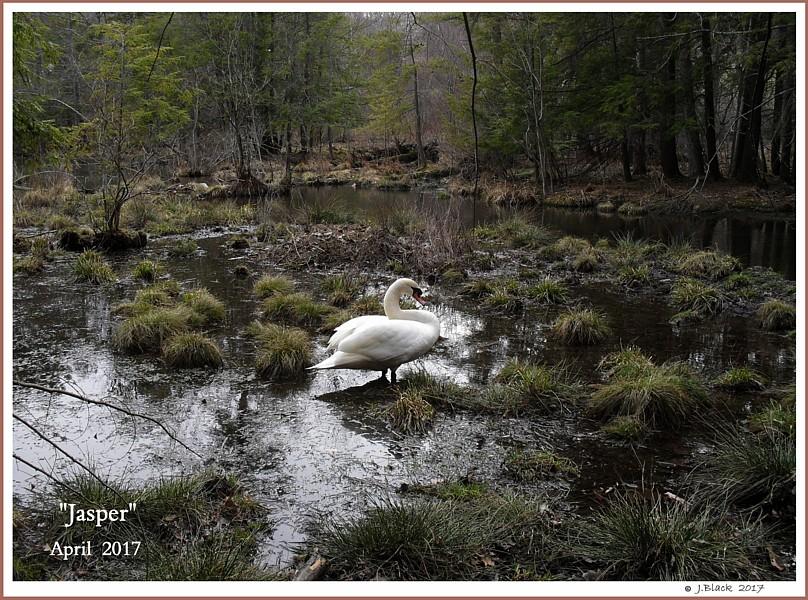 Mature Mute Swan Cob Jasper