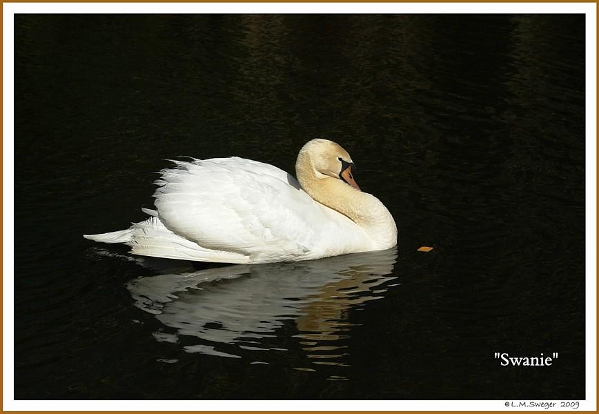 Mute Swan Female Swanie