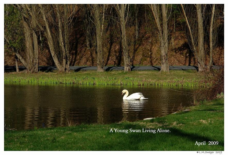 Lone Mute Swan