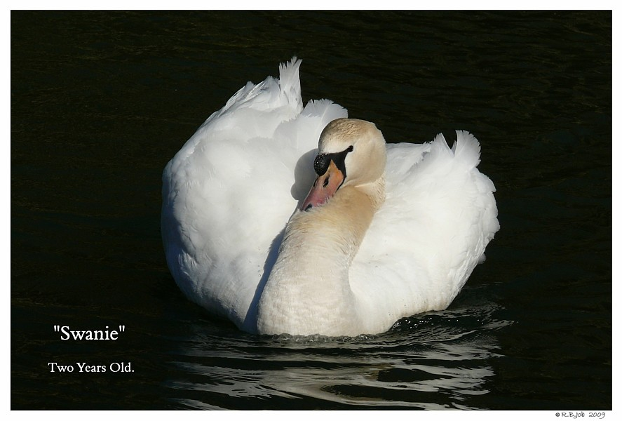 Two Year Old Mute Swan Swans DNA-Sex Testing